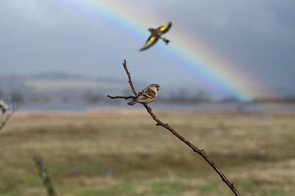 Rainbow Birds by Picola