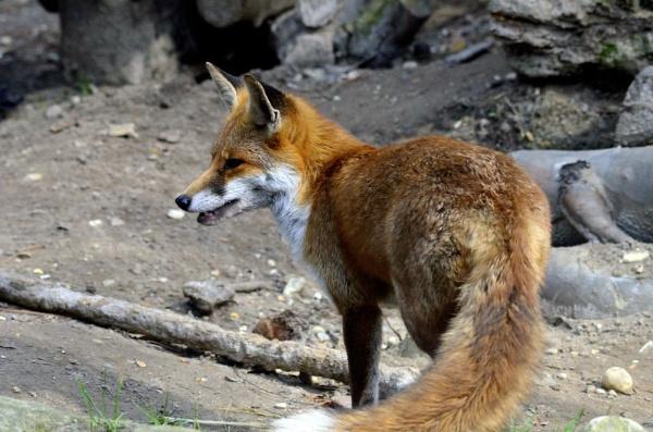 Fox by breadicus