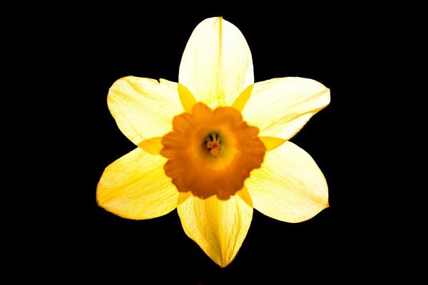 Daffodil! by Shucky