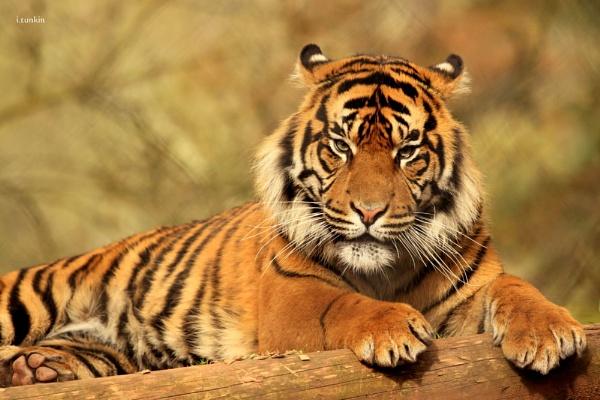 sumatran tiger(paignton zoo) by hotwings