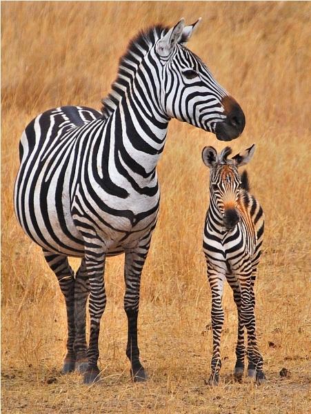 born zebra by ruurd