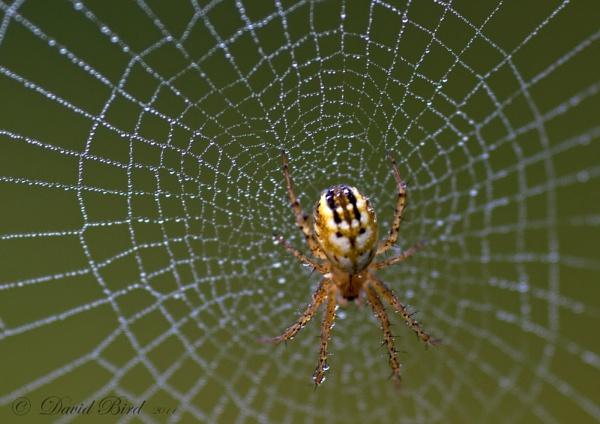 Spider on web by DavidBird