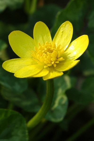 Lesser Celandine Flower by mshulver1
