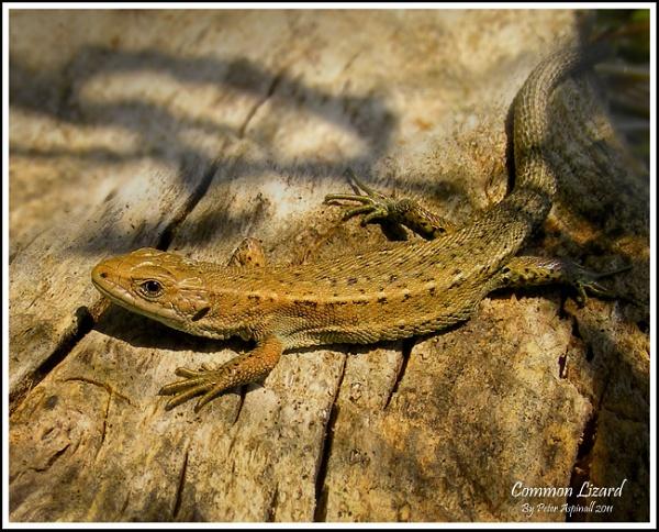 Common Lizard by Scuttleatflordon