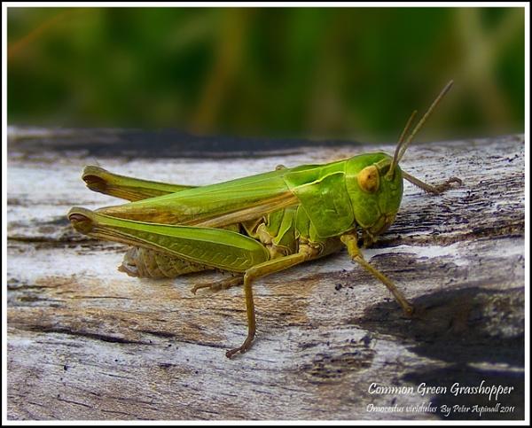 Grasshopper by Scuttleatflordon