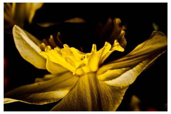 Alternative Daffodil by ginger58