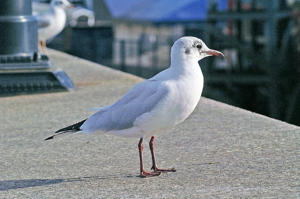 George Seagull by jinstone