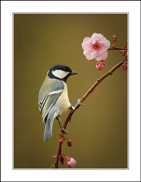 Great Tit 3 by phil_j