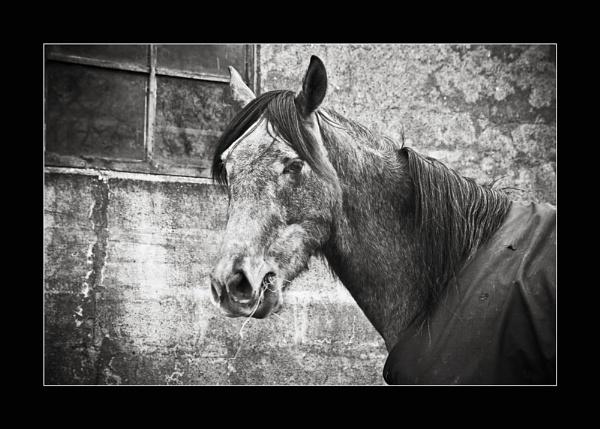 Horse Portrait by chrispo