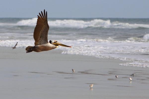 Pelican at Huntington Beach, California by paulvo