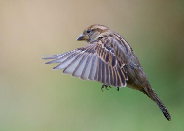 Sparrow by Phatboy