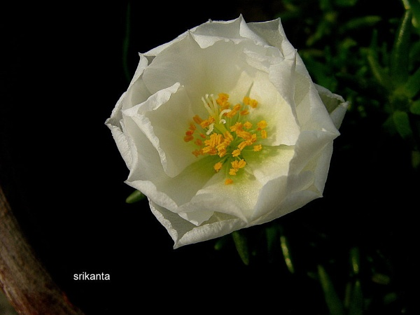 white beauty by srikanta