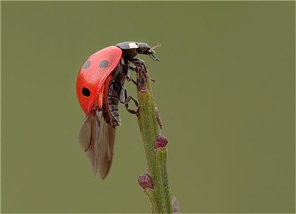 7 spot ladybird..................(d & e) by Stace