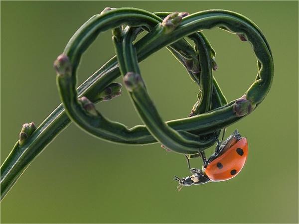 7 spot ladybird.................(g) by Stace