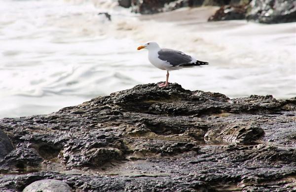 Gull by jonathanbp