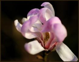 Twas a magnolia