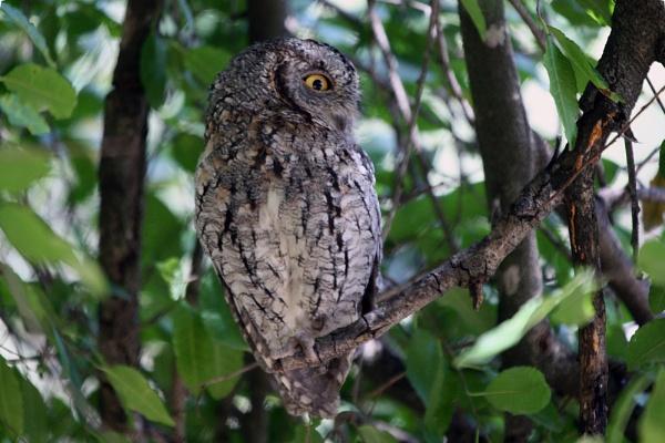 Scops Owl by CraigSev