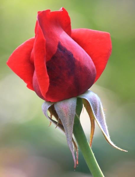 Blloming Rose Bud by gjayesh
