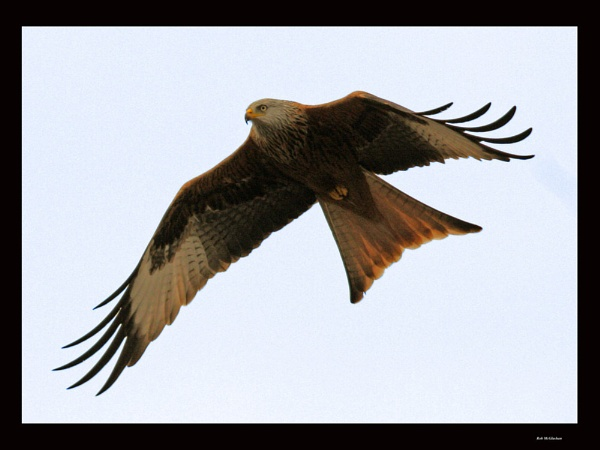 Mid Flight Red Kite by Rob_McG