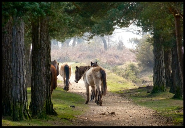 Forest ponies by Dors-pics