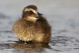 Eider Chick