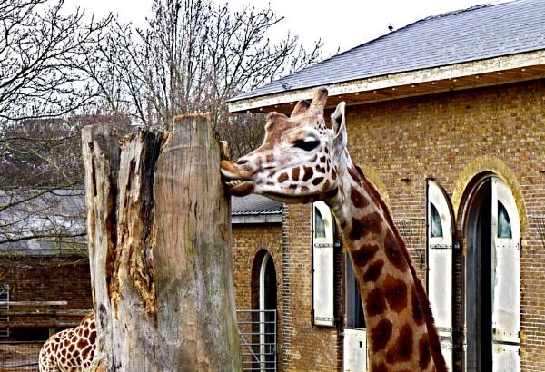 Giraffe by ceri_baxter