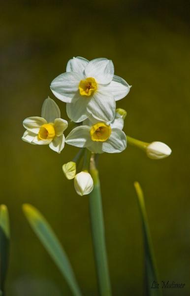 Narcissi by LizMutimer