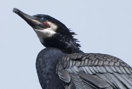Cormorant in Breeding Plumage
