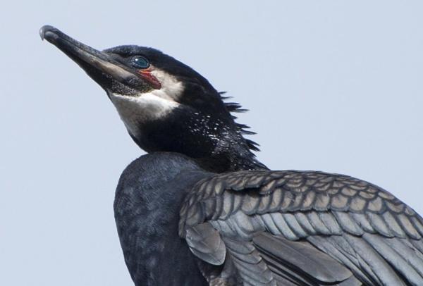 Cormorant in Breeding Plumage by Picola