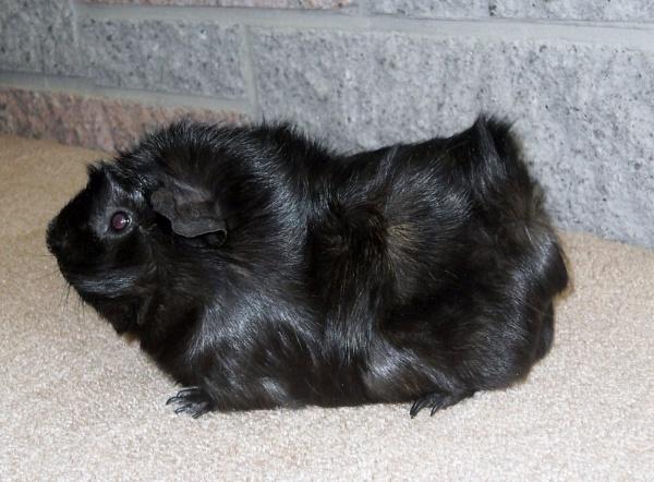 Guinea-Pig! by maryatsix