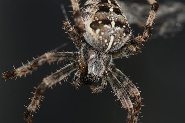 spiky the spider by glennmeeds