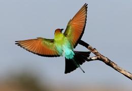 ''Rainbow Bee-eater''