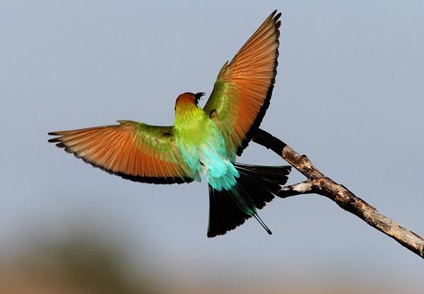\'\'Rainbow Bee-eater\'\' by wildlifephotographer