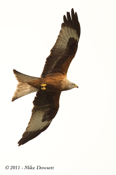Red Kite over M40 by MikeDowsett