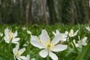 Wild Wood Anemones