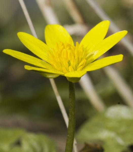 Lesser Celandine (Ficaria verna) by TheRiverRat