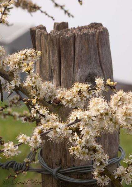 Spring blossom by DavidBird