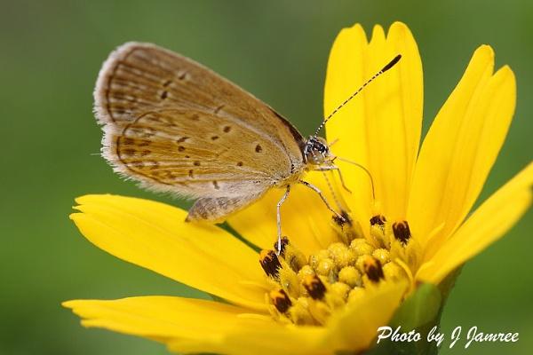 Enjoying nectar by JJamree