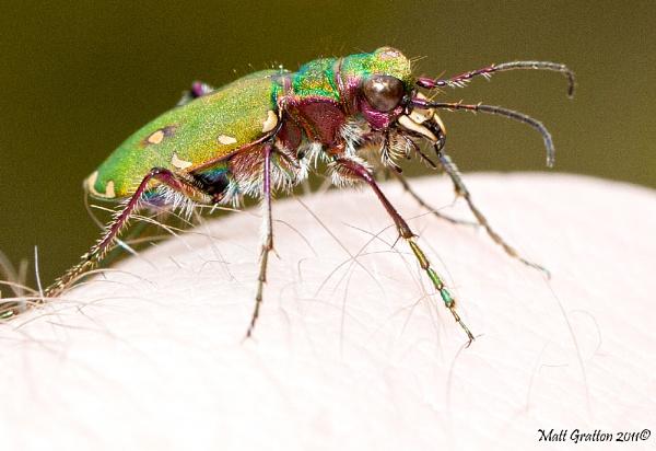 Green Tiger Beetle (Cicindela campestris ) by mohikan22