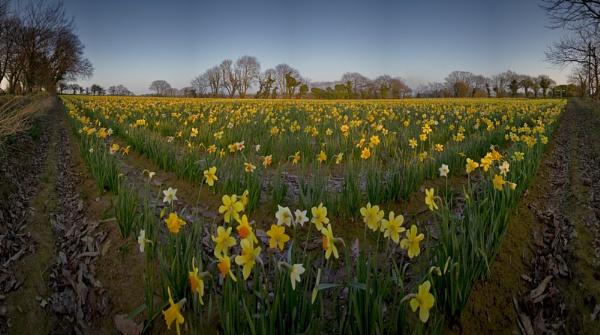field of dafs by happysnapper