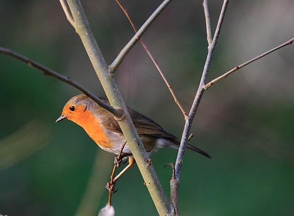Spring Robin by steve5452