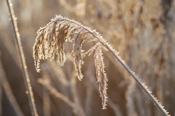 Frosty reeds by StuartAt