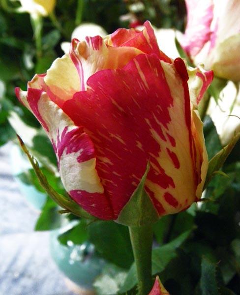 Adamsi Flower by kombizz