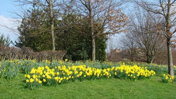 Daffodils by tenerifejohn