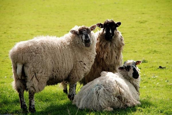 Sheep Trio by blondiebee