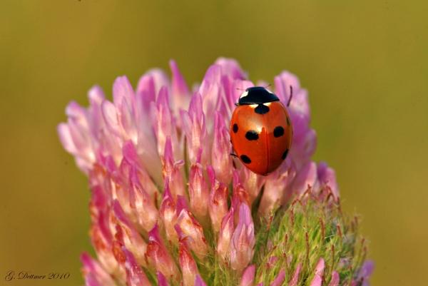 Ladybird/bug by GlenD