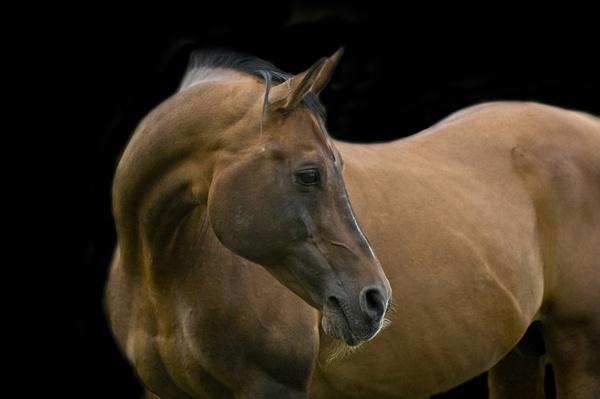 Stallion Portrait by pip01