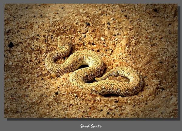 Sand snake by WimdeVos