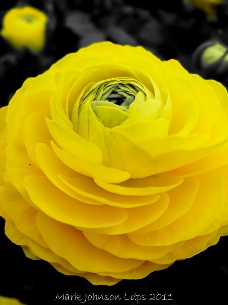 A Ranunculus in bloom by PhotoMorph