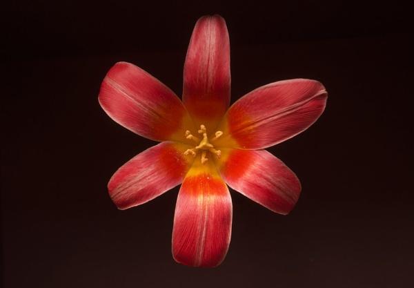 Tulip by shinycb